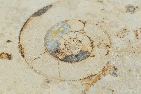 Versteinerter Ammonit in Dietfurter Kalkstein
